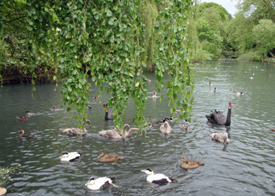 canallakeswans